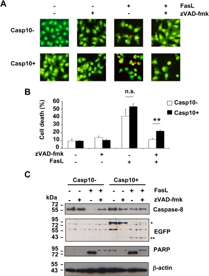 zVAD-fmk does not totally abrogate FasL-triggered apoptosis in HeLa cells expressing caspase-10 at low level.A, B, Casp10+ and Casp10- HeLa cells were incubated in the presence or absence of 40 µM zVAD-fmk for 1 hour and further incubated for 16 hours with or without 1 µg/mL FasL as indicated. Cells were labelled with Syto13 and propidium iodide before fluorescence microscopy examination (A). Of note, less than 5% of the cells were stained by propidium iodide under all conditions indicating that FasL-induced necrosis was marginal in HeLa cells. Percentages of cell death (i.e., cells exhibiting nuclear fragmentation and/or condensation) were determined by analysing at least 500 cells for each condition. Values are means ±SEM of three independent experiments (n.s.: not significant; **p<0.01.) (B). C, Casp10+ and Casp10- HeLa cells were incubated in the presence or absence of 40 µM zVAD-fmk for 1 hour and further incubated for 8 hours with or without 1 µg/mL FasL as indicated. Western blot analysis was performed using the indicated antibodies. (*: EGFP-tagged pro-caspase-10, **: EGFP-tagged small catalytic caspase-10 subunit).