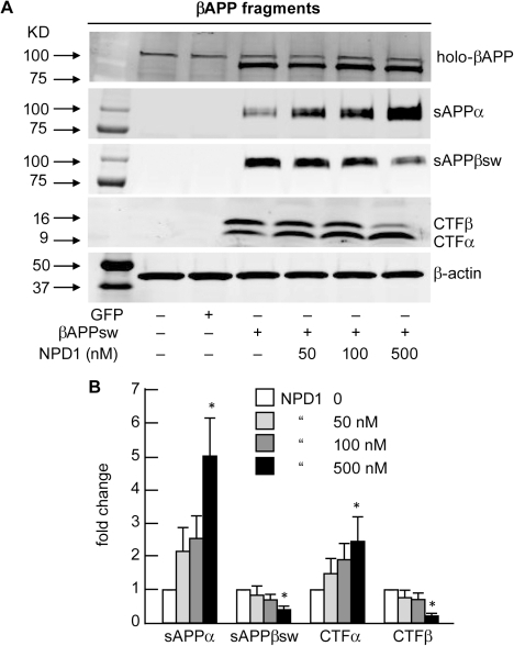 NPD1 shifts βAPP processing from the amyloidogenic to the non-amyloidogenic pathway.(A) Control or HNG cells over-expressing βAPPsw were treated with increasing concentrations (0, 50, 100, 500 nM) of NPD1 for 48 h and subjected to Western blot detection of holo-βAPP (βAPP holoenzyme), sAPPα, sAPPβsw, CTFα and CTFβ in comparison to β-actin levels in the same sample; (B) Quantification of gel bands in (A) analyzing βAPP fragments with increasing doses of NPD1. Results are means ± SEM (n = 4); *p<0.01 vs. βAPPsw control.