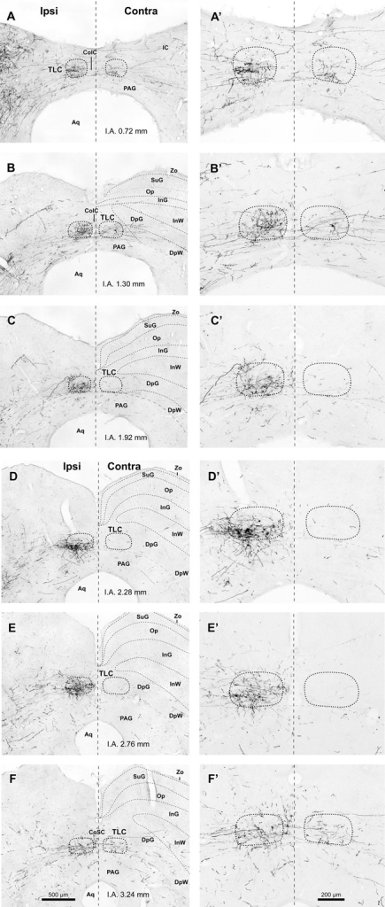 Labeled SPON axons in the TLC. (A–F, A′–F′) Digital micrographs of six coronal sections taken from different rostrocaudal levels of the midbrain tectum of case 97084, whose injection site is depicted in Figure 1B. Sections have been ordered from caudal to rostral. The number at the bottom of each panel indicates the distance in millimeters between the depicted plane and the interaural coronal plane (I.A.). Micrographs in the right column show higher magnification views of the corresponding micrograph in the left column. Vertical dashed lines indicate the midline. Scale bars in (F,F′) apply to all six micrographs within the corresponding column. Abbreviations of SC layers as in Figure 2. Other abbreviations: CoIC, commissure of the IC; CoSC, commissure of the SC; PAG, periaqueductal gray matter.
