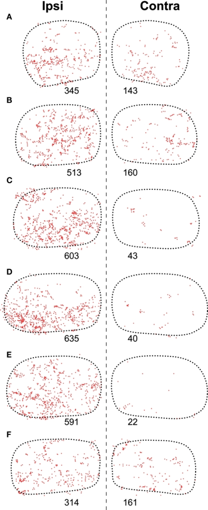 Distribution of presumed synaptic boutons of SPON fibers in the TLC. (A–F) Plots of the location of all swellings and varicosities of SPON fibers labeled in the same sections of the TLC shown in Figure 3 (Case 97084). Each dot represents one presumed bouton. The number below each TLC indicates the number of labeled boutons.