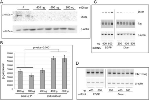 The impact of Dicer depletion on HIV-1 replication in 293T cells.(A) Dicer knockdown was confirmed by immunoblotting total protein extracts prepared 2d post-transfection from 293T cells transfected with indicated amounts of pU6-miDicer. The immunoblot was incubated with antibody specific to Dicer and β-actin that serves as a loading control. (B) 293T cells were transfected with pLAI, together with pmiEGFP or pU6-miDicer, as indicated. 2d post transfection infectious virus released into the supernatant was assayed using P4R5 indicator cells (see Materials and Methods). Error bars represent standard deviation from 6 replicates. (C) Total RNA isolated from cells in (B) was subjected to semi-quantitative RT-PCR to determine the mRNA levels of Dicer, HIV-1 Tat, and β-actin. Following PCR, products were analyzed by electrophoresis in 2% agarose and ethidium bromide staining. PCR products are resolved on the same gel and irrelevant samples are cropped out. D) Total RNA isolated in (C) was treated with DNase, and following cDNA synthesis with a Gag mRNA specific primer, semi-quantitative PCR was performed and products were analyzed as in (C). PCR for β-actin following oligo(dT)-primed cDNA synthesis serves as a loading control.