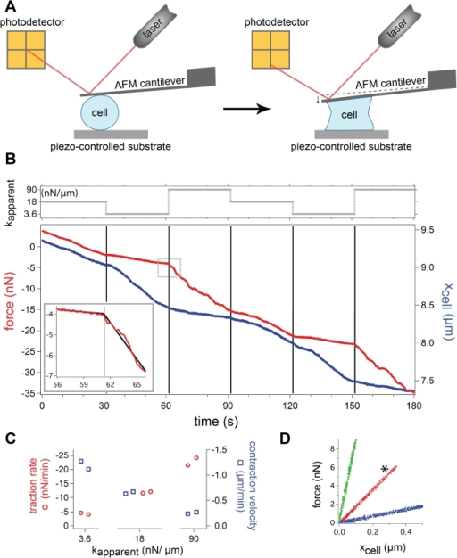 Cell contraction rapidly responds to stiffness changes.(a) An AFM was used to expose a single fibroblast cell to dynamically changeable apparent stiffness values with the AFM stiffness clamp. The piezo-controlled substrate was moved in response to deflections of the cantilever, which were precisely measured with an optical lever system. (b) Force and cell height as the cell contracts under different apparent stiffnesses from a typical experiment. A total of 30 cells were tested, all exhibiting the same stiffness-dependent behavior shown above. Each interval is under an apparent stiffness of 3.6, 18, or 90 nN/µm as indicated at the top of the graph. The traction rate and contraction velocity rapidly change with a step change in stiffness. A segmented linear regression fit is plotted highlighting the change in traction rate (inset). Data displayed in (c) and (d) are compiled from this trace. (c) Traction rate increases with apparent stiffness while corresponding contraction velocity decreases. The rates are determined from a linear regression fit where the 95% confidence interval for each slope is within 0.4 nN/min and 20 nm/min for the force and height, respectively. (d) Plot of force versus cell height. The three linear, distinct traces each have slopes that indicate that the desired apparent stiffnesses were achieved. The * marks the trace without any feedback loop. Each interval was translated to begin at the origin for comparison.