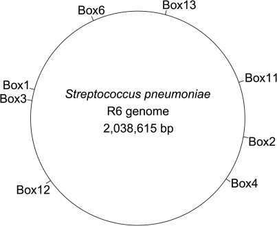 Schematic representation of the pneumococcus R6 genome indicating the location of the 8 BOX loci that are used in the MLVA scheme.