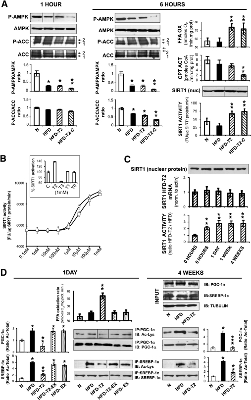 Hepatic induction of fatty acid oxidation by T2 in HFD animals does not involve AMPK but is associated with SIRT1 activation. A: Compound C effectively inhibits AMPK Thr172 and ACC Ser79 phosphorylation within 1 and 6 h, respectively, of its simultaneous administration with T2. Positions of ACC isoforms 1 and 2 are indicated at the right. The increase of fatty acid oxidation persisted at 6 h after injection of T2 plus Compound C. SIRT1 nuclear protein activity increased at 6 h after injection of T2 and was not inhibited by Compound C. B: T2 is a specific activator of SIRT1. The effects of T2 and RSV (positive control) were compared using a fluorescence-based deacetylation assay (x-axis: logarithmic scale). Inlay: Other tested TH metabolites either inhibit SIRT1 activity (T3) or are ineffective (T1, T0). C: T2 induces prolonged activation of SIRT1. Upper: Nuclear SIRT1 protein. Middle: mRNA levels in livers of animals treated as indicated underneath the bars. Lower: Hepatic nuclear SIRT1 activity. Ratios are shown for values from HFD-T2 animals over those from HFD animals at the indicated time points. D: T2 treatment causes deacetylation of SIRT1 target proteins, consistent with increased fatty acid oxidation. Left panel: Mitochondrial fatty acid oxidation in HFD or HFD-T2 animals treated for 1 day (left panel) in the presence or absence of the specific SIRT1 inhibitor EX-527 (EX). Left and right panel: In the same animals, as well as in animals treated for 4 weeks, hepatic nuclear extracts (2 mg) were immunoprecipitated with an anti–PGC-1α (upper) or anti–SREBP-1c antibody (lower) and analyzed with anti-acetyllysine antibody vs. PGC-1α or SREBP-1c. Numbers indicate the ratio acetylated over total protein. Upper right panel: No variation in total PGC-1α, SREBP-1c, and tubulin (control) protein levels in nuclear extracts between N, HFD, and HFD-T2 animals (input). A, C, and D: Representative blots are shown. D: Dividing lines indicate omissions/rearrangements of lanes from the same gel. Error bars represent SEM. *P < 0.05 vs. untreated controls; **P < 0.05 vs. both untreated controls and HFD-fed groups. □, N; ■, HFD; ▨, HFD-T2; ▧, HFD-T2–Compound C; dotted bars, HFD-T2-EX-527; light dotted bars, HFD-EX-527. B: ◇, RSV; □, T2. FFA, free fatty acid; FU, fluorescence units; IP, immunoprecipitated; IB, immunoblotted.