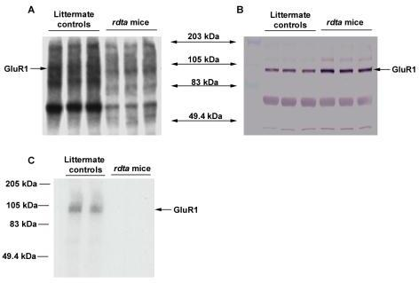 Back -phosphorylation of GluR1 in the retina of the rdta mice and their littermate controls. (A) Ten micrograms of SPM protein from the retinae of the rdta mice and their littermate controls were back-phosphorylated by endogenous CaMKII in the presence of Ca2+/CaM. The samples were then electrophoresed by SDS-PAGE and subsequently transferred to nitrocellular membrane. The phosphorylated bands were visualized by autoradiography. The in vitro phosphorylation was higher in the littermate controls than in the rdta mice. (B) The same blots were then incubated with anti-GluR1 antibody and visualized by alkaline phosphatase conjugated secondary antibody and NBI/BICP substrate. The molecular weight of GluR1 is indicated. The density for GluR1 was elevated in the rdta mice relative to the littermate controls. (C) GluR1s were immunoprecipitated after the back-phosphorylation and subjected to SDS-PAGE. The gel was dried and the image was visualized by autoradiography. These data indicate that the phosphorylation of GluR1 is increased in vivo in the retina of the rdta mice relative to their littermate controls.