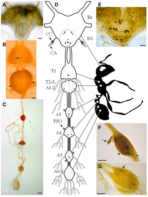 Diagram Of The Central Nervous System Of The Fire Ant A Open I