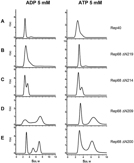 Effect of nucleotides in the oligomerization of Rep extended-linker construct proteins.ATP and ADP were added to each linker construct and compared to Rep40. Sedimentation profiles of (A) Rep40, (B) Rep68Δ219, (C) Rep68Δ214, (D) Rep68Δ209 and (E) Rep68Δ200. All protein concentrations were kept at 36 µM and contain 5 mM of ADP (left panel) or 5 mM ATP (right panel). Sedimentation velocity experiments were run at 40000 rpm and 20°C. Data was collected using the interference system.