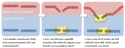 Differential irradiation induced foci (IRIF) formation between Euchromatin and Heterochromatin. (1) DNA double strand breaks (DSBs) form within either heterochromatin (red) or euchromatin (blue); (2) γH2AX occurs on chromatin at the DSB site (green) enabling the formation of the larger IRIF (yellow star) comprised of proteins such as Mre11, Rad50, NBS1, MDC1, RNF8, RNF168 and 53BP1. In heterochromatin, however, IRIF fail to form to a similar extent (or at all) at the same time point. Rather, the heterochromatic DSB relocates from the heterochromatic core to the peripheral zone bordering on euchromatin; (3) Once relocated to the heterochromatin:euchromatin border, the heterochromatic DSB elicits IRIF formation which expands into the surrounding euchromatic space.