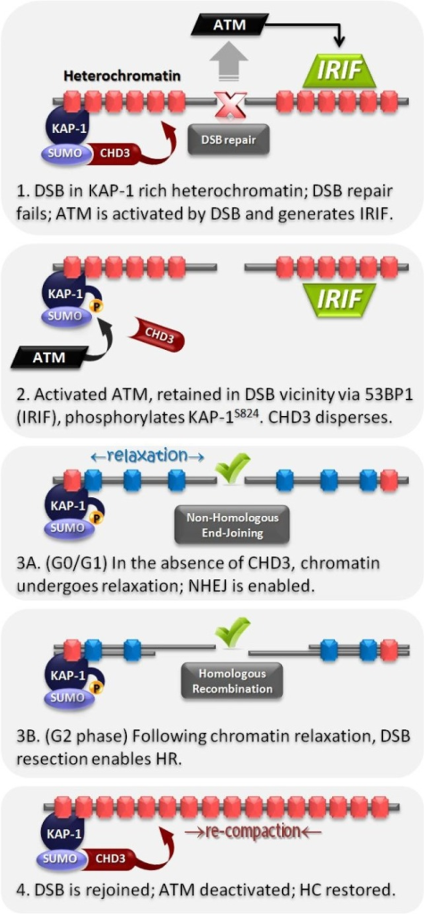 Ataxia telangiectasia mutated (ATM)-dependent heterochromatic DSB repair. (1) DSBs elicit ATM activation and IRIF formation, however repair processes within heterochromatin are inhibited by the compacted nucleosome configuration produced by KAP-1 dependent CHD3 activity; (2) Active ATM phosphorylates KAP-1 at S824, which interferes with the SUMOylation-dependent retention of CHD3 in chromatin; (3) In the absence of CHD3, the chromatin surrounding the DSB site relaxes, allowing (3A) non-homologous end-joining or (3B) if cells are in G2-phase, DNA end resection and homologous recombination mediated repair of the DSB; (4) Once the DSB is rejoined, ATM signaling is deactivated. Heterochromatic nucleosomes re-compact once KAP-1 is dephosphorylated and CHD3 activity is again retained.