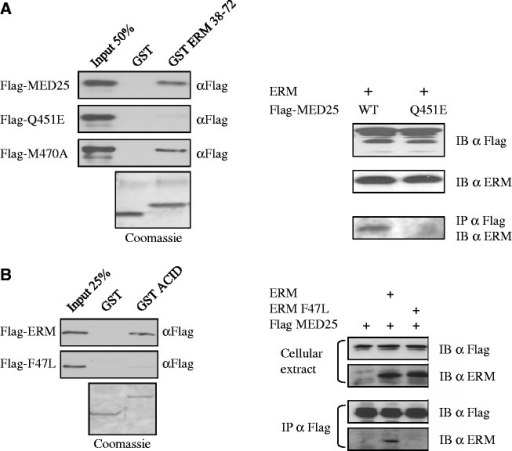 Effect of mutations in the ERM/MED25 interface. (A) Mutation of Q451 of MED25 severely reduces its ability to bind to ERM. (Left) GST ERM 38–72 was used to analyse the binding to full-length Flag-MED25 WT and point mutants Q451E and M470A. Q451E shows weak binding to ERM 38–72. Binding was detected by immunoblotting with anti-Flag. An SDS gel stained with Coomassie showing the expression of the GST fusion proteins is shown. (Right) Wild-type Flag-MED25 or MED25 with a Q451E mutation were examined for their ability to interact with ERM in co-immunoprecipitation experiments. RK13 cells were transfected with the indicated expression vectors and cellular extracts were IP α Flag and IB α Flag. Expression of Flag-MED25, Flag-MED25 Q451E and ERM are shown in the top two panels. (B) Mutation of F47 of ERM abolishes the recruitment of MED25. (Left) GST MED25 ACID domain was examined for its ability to interact in vitro with ERM wild type or ERM F47L mutant. (Right) The ability of Flag-MED25 to interact with ERM wild type and with ERM F47L mutant was analysed in co-immunoprecipitation experiments. Cells were transfected with the indicated expression vectors and cellular extracts were IP α Flag and IB α Flag or IB α ERM (IB). Expression of Flag-MED25, ERM and ERM F47L are shown in the top panel (cellular extract).