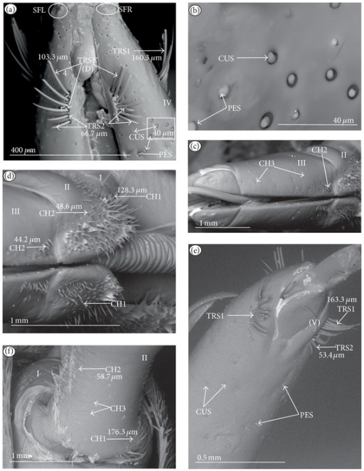 Types, sizes, and distribution of the sensilla of the Belostomatinae (Hydrocyrius colombiae). (a) TRS1 (four), TRS2 (three) form one row and are placed dorsally (D) near the apex of the labium; sensory fields (SFR, SFL); CUS and PES, placed dorsally, are numerous and unevenly distributed on segment IV. (b) CUS and PES (magnified). (c) CH3 are sparsely and unevenly distributed, dorsal view of segment III, several CH2 grouped near the labial groove. (d) CH2 are numerous, placed on the dorsal side, on segment II. (e) TRS1, TRS2 are distributed ventrally (V); CUS, PES, and CH3 are sparsely and unevenly distributed ventrally on the IV segment. (f) CH1 are visible at the base of segment II on the ventral side, CH2 are densely arranged along the surface of the second segment, and CH3 are slightly visible and unevenly distributed over segment II.