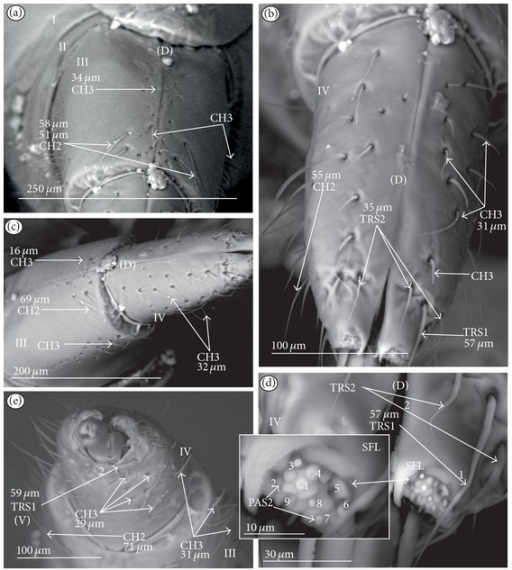 Types and sizes of the sensilla of the Notonectidae: Anisopinae (Buenoa uhleri). (a) Several CH3 and CH2 are present on the III segment (dorsal view). (b) Several CH3 and CH2 are present on the IV segment (dorsal view). (c) Several CH3 are scattered all over the surface of the IV segment (lateral view), two CH2 are situated near the distal edge of the III segment, and CH3 are situated in rows dorsally and laterally. (d) TRS1 (one) and TRS2 (two) are distributed over the dorsal side (D) near the apex of the labium; PAS2 (no. 1–9) are situated on the sensory field (left-side view; SFL). (e) Several CH3 are visible on the ventral side of the IV and III segments; TRS1 (two) are situated ventrally near the apex.