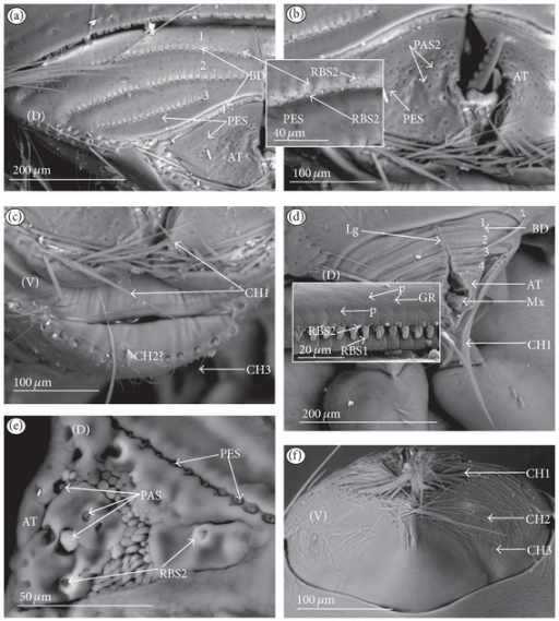 Types and sizes of the sensilla of the Diaprepocoridae and Micronectidae ((a)–(c) Diaprepocoris zealandiae, (d)–(f) Micronecta quadristrigata). (a) BD (no. 1−2.5) are spread evenly on the dorsal surface. (b) AT in magnification; PES or PAS2 are numerous and unevenly cover the tip. (c) Several of the CH1 are arranged on the lateral edge of the membranous labial tip (AT); the CH1 are placed on the lateral edge of the labium; the CH2 and CH3 are placed below the apex, on the ventral side. (d) BD (no. 1–4) are spread evenly on the dorsal surface; the CH1 are placed on the lateral edge of the labium. (e) BD in magnification, PES, RBS2, and PAS on the apex (AT). (f) The CH1 are numerous and situated below the apex (ventral view), the CH2 are situated in a short row below the CH1, and the CH3 are not numerous and placed below the CH2.