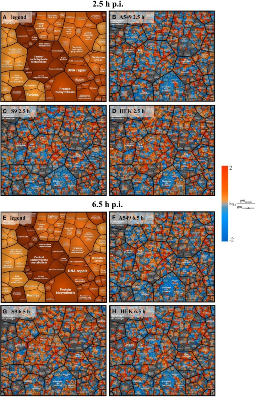 Voronoi treemap analysis of S. aureus proteins. Ratios from intensity values 2.5 h and 6.5 h p.i. compared to the non-adherent control are depicted. All pictures represent data on protein level clustered by pathways. Panels (A,E) serve as a legend showing only the pathways. Data at 2.5 h p.i. are represented in panel (B) (A549 cells), panel (C) (S9 cells), and panel (D) (HEK 293 cells). Data at 6.5 h p.i. are shown in panel (F) (A549 cells), panel (G) (S9 cells), and panel (H) (HEK 293 cells). Blue spots indicate lower levels in the internalized bacteria compared to the non-adherent control; red colors represent higher levels of proteins in response to internalization compared to the non-adherent control. Average values from three independent biological samples are displayed.