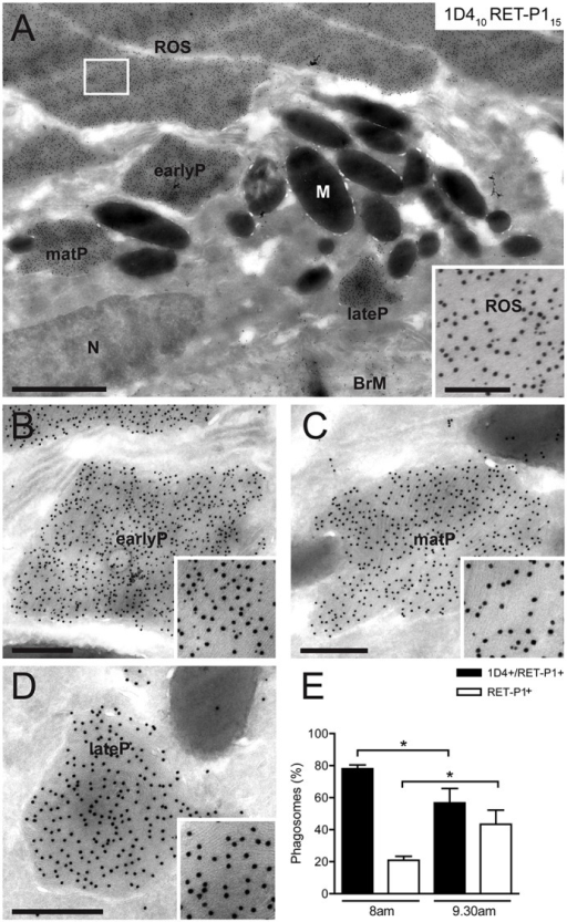 Loss of the C-terminal cytoplasmic rhodopsin epitope during phagosome maturation. Immunogold labelling of cryosections of mouse retina collected at 2.5 h after light onset (9.30am). Double labelling of rhodopsin with antibodies against the C-terminal cytoplasmic epitope [1D4; Protein-A–gold (PAG), 10 nm] and N-terminal intradiscal epitope (RET-P1; PAG, 15 nm). (A) Overview of the RPE and POS. The inset shows double labelling in ROS. Higher magnification views of early, maturing and late phagosomes (earlyP, matP or lateP, respectively) in A are shown in B, C and D. N, nucleus; M, melanosomes; BrM, Bruch's membrane. (B) Double-labelled early phagosome. (C) Double-labelled phagosome with low density of 1D4 staining, suggesting that it is a maturing phagosome. (D) Single-labelled phagosome with no 1D4 staining, suggesting it is a mature late phagosome. Scale bars: 1 µm (A), 200 nm (inset in A), 400 nm (B–D). (E) Quantification shows the percentage of total phagosomes at 1 h (8am) or 2.5 h (9.30am) after light onset that are positive for 1D4 and RET-P1 or for RET-P1 only. At each time-point at least 25 phagosomes were analysed in four eyes. Data show the mean±s.e.m.; *P<0.05.