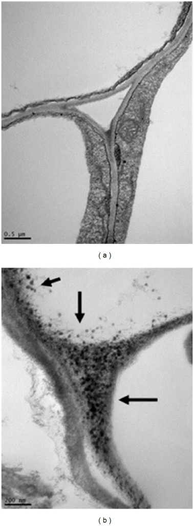 Transmission electron microscopy images of Buckwheat (Fagopyrum esculentum) root surface under control (a) and treatment (b) with ZnO nanoparticles (1,000 mgL−1) [31].