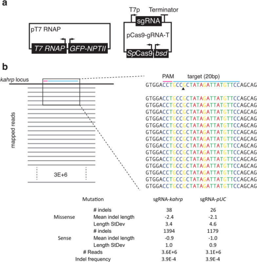 Assessing the fate of kahrp-sgRNA-T-induced cleavage of the kahrp locus in the absence of a homologous donor plasmid. (a) Schematic of the validated pT7 RNAP and pCas9-kahrp sgRNA-T plasmids used in this experiment. (b) Deep sequencing analysis of the region targeted for cleavage by kahrp-sgRNA-T. A representative set (1 of 3 independent experiments) of twenty bacterial clones analyzed by Sanger sequencing is illustrated.