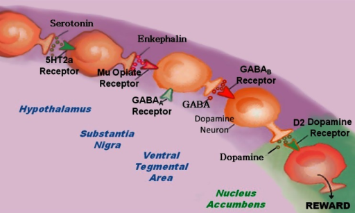Brain Reward Cascade [14, 15]. In this cascade, stimulation of the serotonergic system in the hypothalamus leads to the stimulation of delta/mu receptors by serotonin to cause a release of enkephalin. Activation of the enkephalinergic system induces an inhibition of GABA transmission at the substania nigra by enkephalin stimulation of mu receptors at GABA neurons. This inhibitory effect allows for the fine-tuning of GABA activity. This provides the normal release of dopamine at the projected area of the NAc [14, 15]