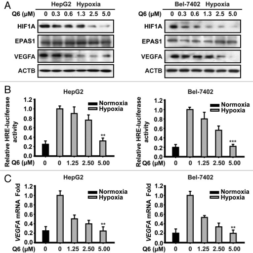 Figure 2. Q6 downregulates hypoxia-induced HIF1A protein expression and HIF1A-mediated signal transduction. (A and C) HepG2 (left) and Bel-7402 (right) cells were exposed to hypoxia or normoxia and treated with Q6 (0 to 5 μM) for 6 h. (A) Protein levels of HIF1A, EPAS1, and VEGFA were detected by western blot analysis. ACTB was analyzed as the loading control. Data are representative of 3 independent experiments. (B) An HRE-dependent reporter assay was used to determine the effect of Q6 on HIF1A transcriptional activity. Five independent experiments were performed and the values were expressed as the mean ± SD **P < 0.01 and ***P < 0.001, compared with untreated controls in hypoxia. (C) Total RNA was extracted and VEGFA mRNA expression was analyzed by RT-PCR, using GAPDH as a control gene. Five independent experiments were performed and the values were expressed as the mean ± SD **P < 0.01, compared with untreated controls in hypoxia.