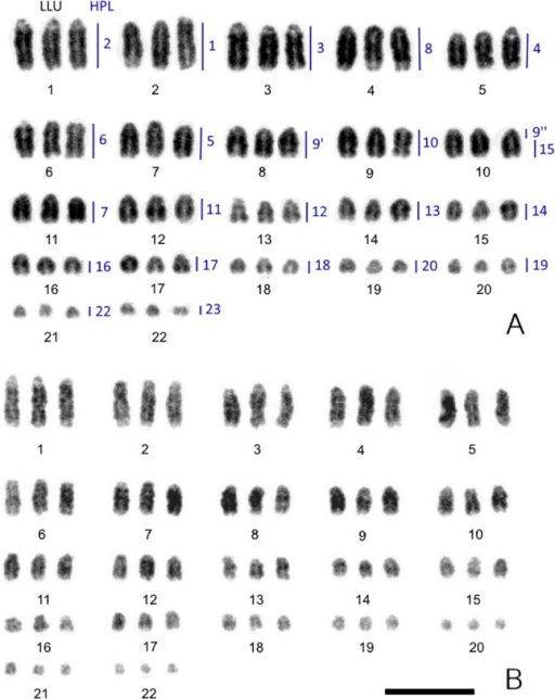 Inverted DAPI-stained karyotypes of the mourning gecko (Lepidodactylus lugubris, LLU). 3n = 66.(A) male A and (B) female A. Homologies between LLU and Hemidactylus platyurus (HPL) revealed by chromosome painting are indicated on male karyotype. Scale bar, 10 μm.