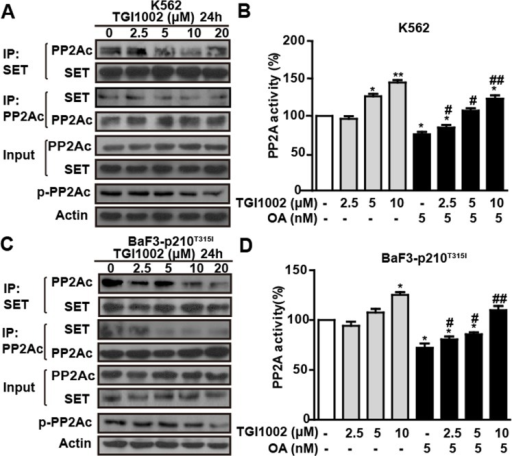 TGI1002 disrupts SET-PP2Ac association and activates PP2A in vitro(A) TGI1002 inhibited SET-PP2Ac interaction in K562 cells. K562 cells were incubated with TGI1002 for 24 h. SET and PP2Ac protein complexes were immunoprecipitated and analyzed for SET and PP2Ac co-immunoprecipitation. TGI1002 showed inhibition of SET-PP2Ac complex formation. (B) TGI1002 treatment activated PP2A in K562 cells. K562 cells were treated with TGI1002 and the activity of PP2A was measured using an immunoprecipitation phosphatase assay. PP2A activity was significantly increased compared to untreated control. (C) TGI1002 inhibited SET-PP2Ac interaction in murine BaF3-p210T315I cells. SET and PP2Ac protein complexes were immunoprecipitated and analyzed for SET and PP2Ac co-immunoprecipitation. TGI1002 showed inhibition of SET-PP2Ac complex formation. (D) TGI1002 treatment activated PP2A in murine BaF3-p210T315I cells. Data in (B) and (D) are presented as mean ± s.d. (n= 3). *, P < 0.05 and **, P < 0.01 compared to untreated; #, P < 0.05 and ##, P < 0.01 compared to OA treatment.