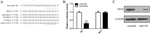 Hes1 was the direct target of miR–381 in neural stem cells.(A) Hes1 was predicted to be target gene ofmiR–381 by TargetScan. (B) Luciferase reporter assay was done to confirm the predictions in neural stem cells. (C) The protein expression of Hes1 was measured by Western blot in neural stem cells.***p<0.001.