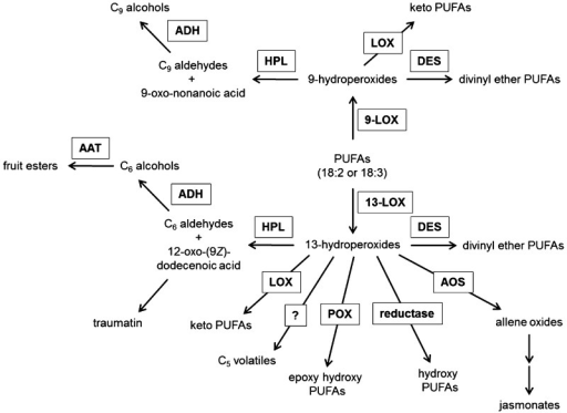 The LOX pathway. The dioxygenation of PUFAs by 9- and 13-LOX activity forms precursors for important phytooxylipins with functions in plant defense, wound signaling, senescence and fruit ripening. The formation of fruit esters from 13-hydroperoxide occurs by the HPL pathway and the action of AAT. AAT, alcohol acyl-CoA transferase; ADH, alcohol dehydrogenase; AOS, allene oxid synthase; DES, divinyl ether synthase; HPL, hydroperoxide lyase; POX, peroxygenase, PUFA, polyunsaturated fatty acid. Adapted from Feussner and Wasternack.13