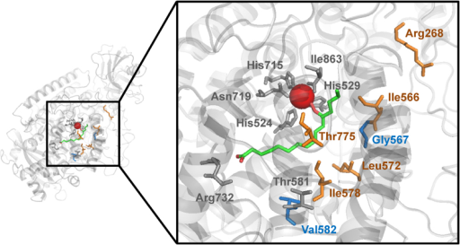 Overview of the substrate binding pocket of LOX1:Md:1a. Homology model showing positions of amino-acid residues described to be essential for LOX activity and specificity (gray, blue) as well as positions chosen for site-directed mutagenesis (orange, blue). A 13(S)-HpODE molecule (green) illustrates position and depth of the substrate binding pocket. The bottom of the cavity is marked by Arg732, which is essential for enzyme activity and therefore highly conserved among plant LOX enzymes. However, the catalytic iron atom (red sphere) is coordinated by five conserved residues (His524, His529, His715, Asn719, Ile863) near the entrance. The residues Thr581 and Val582 align with the so-called Sloane position described for mammalian LOX and are known to control regiospecificity of fatty acid oxygenation. In addition, Gly567 has been described to influence both regio- and stereoselectivity of LOX enzymes.