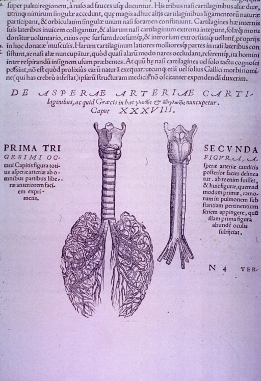 <p>Larynx, trachea and bronchials of the lung.</p>