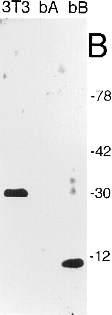 (A) Reactivity of  the various anti-HMG1 antibodies used in this study. For  each antibody preparation  the species of origin is indicated (m, mouse; ch,  chicken), and the ability (+)  or inability (−) to recognize  boxes A and B of HMG1 by  Western blotting (denatured) or by immunoprecipitation (native) is also shown.  The notation ± indicates that  recovery of the HMG1bA  polypeptide by immunoprecipitation is <5% under the  conditions indicated under  Materials and Methods. (B)  Reactivity of the chWB-AB  antibody in Western blots.  Whole NIH 3T3 cells were  lysed by addition of SDSPAGE loading buffer, and  10 μg of total protein was  loaded on a 10% tricine–SDS– polyacrylamide gel (lane  3T3), alongside 20 ng of purified recombinant HMG1bA  polypeptide (lane bA) or 20 ng of purified recombinant HMG1bB polypeptide (lane bB). (C and D) Anti-HMG1 antibodies stain the  cell nucleus. NIH 3T3 cells were grown on glass coverslips, fixed with paraformaldehyde, permeabilized with 0.1% NP-40, and stained  with anti-recAtn (C) and Hoechst 33258 (D). (E and F) Localization of HMG1 by confocal microscopy. HeLa cells were fixed with  paraformaldehyde, permeabilized with 0.1% SDS, stained with mAP-bA antibody, and viewed in green fluorescence (E) or by phase  contrast microscopy (F). Bars, 10 μm.