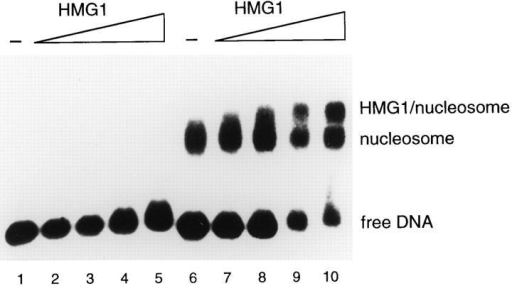 HMG1 binds to reconstituted mononucleosomes. A labeled DNA fragment (176 bp) was assembled into mononucleosomes, incubated with increasing amounts (0, 10, 50, 100, and 500  ng) of HMG1 (lanes 6–10), and electrophoresed on a 0.7% agarose gel. DNA not assembled in nucleosomes was treated similarly for comparison (lanes 1–5). The bands corresponding to free  DNA, to nucleosome particles, and to HMG1–nucleosome complexes are indicated.