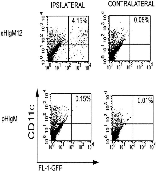 Systemic sHIgM12 treatment increases the number of adoptively transferred DCs recovered from the draining lymph node. Untreated GFP+ DCs were injected (day 0) into the footpad of mice that had received intravenous injections of sHIgM12 or pHIgM on days –1, 0, +1. Ipsilateral and contralateral draining lymph nodes were recovered 48 h later. Staining and flow cytometric analysis was performed as described in Materials and Methods.