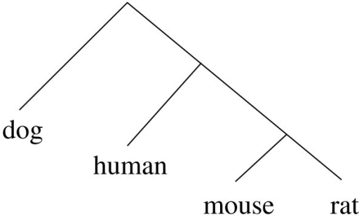 "Topology of the baseline phylogenetic tree. For the un-rooted version of this tree, the branch between the mouse-rat and the human-dog pairs is called the ""middle branch""."