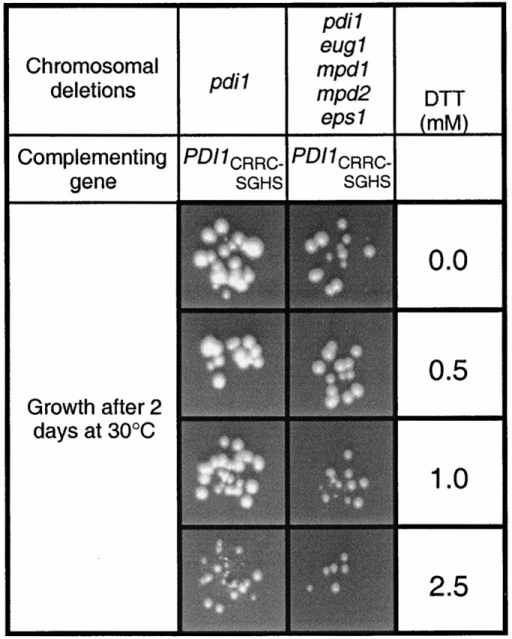 DTT sensitivity of PDI-deficient yeast strains overexpressing PDI1 homologues. Cultures were diluted and applied to SC + 5×Leu + 5×Ade plates buffered to pH 5 and supplemented with different concentrations of DTT. To prevent oxidation of DTT by molecular oxygen, the plates were freshly made and incubated at 30°C in a CO2 atmosphere.