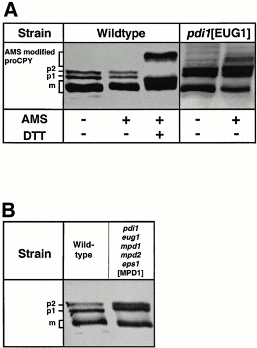 Western blot showing the steady state pool of CPY. (A) A wild-type and a Δpdi1 [EUG1] strain. Cells were lysed in the presence or absence of 20 mM AMS. In the third lane, the wild type was treated with 40 mM DTT before lysis and AMS modification. (B) Western blot showing glycosylation defects of CPY in a strain with Mpd1p as only PDI source. A wild-type and a Δpdi1 Δeug1 Δmpd1 Δmpd2 Δeps1 [MPD1] strain show differences in the mobility of the various forms of CPY.