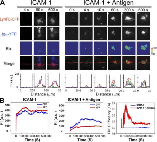 The antigen-induced association of Lyn kinase with BCR. (A) CFP, YFP, Ea, and merged time-lapse images of CH27 B cells expressing LynFL-CFP and Igα-YFP 0–600 s after the encounter of either ICAM-1 alone or ICAM-1– and antigen-containing bilayers. CFP and YFP FIs and Ea across the contact area indicated by red lines (scale, 20 μm) are given. (B) Quantification of the Igα-YFP and LynFL-CFP FIs and Ea plotted against time for cells imaged in A.