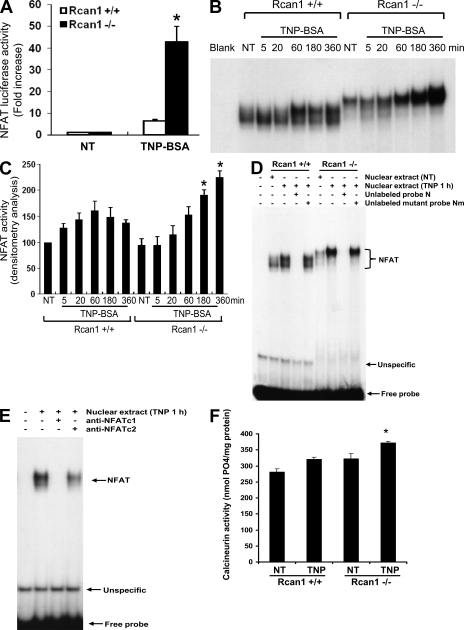 Rcan1 deficiency leads to increased IgE-dependent NFAT activation. (A) Rcan1+/+ and Rcan1−/− BMMCs were transfected with a pNFAT-Luc and the control reporter plasmid pRL-TK. After transfection (24 h), cells were sensitized with anti-TNP IgE for 18 h. Then cells were either left untreated (NT) or treated with 10 ng/ml TNP-BSA for 18 h (TNP). Firefly and Renilla activities were sequentially quantified using a dual-luciferase reporter assay system. Data are means ± SEM (n = 3 independent experiments). *, P < 0.05 compared with wild-type group. (B) NFAT binding concensus sequence (N) on mouse IL-13 promoter 5′-AAGGTGTTTCCCCAAGCCTTTCCC-3′ was labeled with 32P for EMSA. After sensitization with anti-TNP IgE, Rcan1+/+ and Rcan1−/− BMMCs were either not treated (NT) or stimulated with 10 ng/ml TNP-BSA for 5, 20, 60, 180, and 360 min. Nuclear proteins were isolated and subjected to EMSA. Shown is a representative from six independent experiments. (C) Densitometry analysis of NFAT activation by EMSA was performed based on six experiments. *, P < 0.05 compared with the same time point of the wild-type group (180 or 360 min). (D) Nuclear extracts from Rcan1+/+ and Rcan1−/− BMMCs were used for competition assays. 50× concentrated unlabeled NFAT probe (N) was used to compete with the 32P-labeled NFAT probe, whereas 50× concentrated unlabeled mutant NFAT probe (Nm; 5′-AAGGTGTCCATCCAAGCCTCCTAC-3′) was used as a control. 1 μl of nonradiolabeled wild-type NFAT probe (N) or mutant probe Nm were added and incubated for 15 min before the addition of the radiolabeled probe. (E) Antibody blockade of the DNA–protein complex formation (supershift assay). Nuclear proteins from BMMCs treated for 1 h with 10 ng/ml TNP-BSA were incubated with or without specific antibodies to NFATc1 or NFATc2 for 30 min on ice before EMSA experiments using the 32P-labeled NFAT probe (N). Shown is a representative from three (D) or two (E) independent experiments. (F) Rcan1+/+ and Rcan1−/− BMMCs were treated with 10 ng/ml TNP-BSA for 6 h or left untreated. Cells were lysed, and calcineurin activity was analyzed by using a calcineurin assay kit according to the manufacturer's instructions. Error bars represent SE (n = 4). *, P < 0.05 compared with the TNP-treated Rcan1+/+ group.