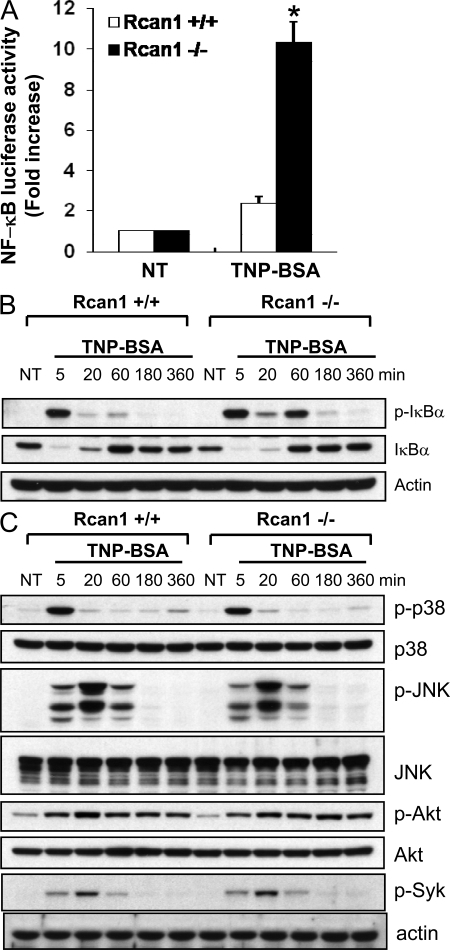 Rcan1 deficiency induces increased IgE-dependent NF-κB activation but not MAPK, Akt, or Syk. (A) Rcan1+/+ and Rcan1−/− BMMCs were transfected with a pNF-κB-Luc and the control reporter plasmid pRL-TK. After transfection (24 h), cells were sensitized with anti-TNP IgE for 5 h. Cells were then either left untreated (NT) or treated with 10 ng/ml TNP-BSA for 18 h (TNP). Firefly and Renilla activities were sequentially quantified using a dual-luciferase reporter assay system. Data are means ± SEM (n = 3 independent experiments). *, P < 0.05 compared with the wild-type group. (B and C) Rcan1+/+ and Rcan1−/− BMMCs were sensitized with anti-TNP IgE and stimulated with TNP-BSA for various times. Total cell lysates were analyzed by Western blotting for various phosphorylated and total proteins. Increased IκB phosphorylation in Rcan1−/− BMMCs was found at 60 min after TNP stimulation when compared with Rcan1+/+ cells. In contrast, the pattern of TNP-induced phosphorylation of p38, JNK, Akt, and Syk is similar between Rcan1−/− and Rcan1+/+ BMMCs.