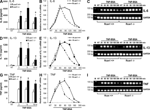 Rcan1 deficiency leads to enhanced IgE-dependent production of IL-6, IL-13, and TNF. After sensitization with anti-TNP IgE for 24 h, Rcan1+/+ and Rcan1−/− BMMCs were either not treated (NT) or stimulated with TNP-BSA for various times. Cell-free supernatants were collected for the detection of IL-6 (A), IL-13 (D), and TNF (G) by ELISA. Cell pellets were used for RNA isolation and analysis for cytokine mRNA expression. Real-time quantitative PCR was performed to determine IL-6 (B), IL-13 (E), and TNF (H) expression. IL-6, IL-13, and TNF expression was normalized to endogenous control GAPDH. The PCR products for IL-6 (C), IL-13 (F), and TNF (I) were also separated by agarose gel and stained with ethidium bromide. Untreated BMMCs (NT) showed little cytokine expression, whereas TNP induced enhanced cytokine production in Rcan1−/− BMMCs. Error bars represent SEs from six independent experiments (A, B, D, E, G, and H). Results presented in C, F, and I are representative of three to six separate experiments. *, P < 0.05 compared with the wild-type group.