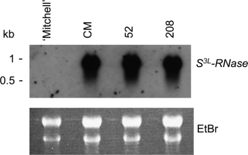 RNA blot analysis of S3L-RNase in styles of RNAi lines for HT-B. Severely HT-B-suppressed Mitchell background plants 52 and 208 were analysed. 'Mitchell' and untransformed Mitchell background (CM) are negative and positive controls, respectively. A 10 μg aliquot of style total RNA was loaded in each lane, blotted, and hybridized with the P. inflata S3L-RNase probe. The ethidium bromide-stained gel is shown to ascertain equal loading conditions.