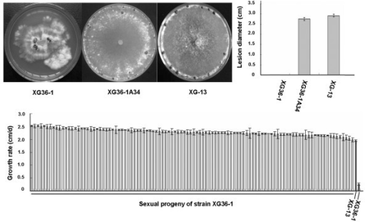 Sexual progeny of hypovirulent strain XG36-1 showed normal phenotypes of S. sclerotiorum. A and B, the colony morphology and virulence on rapeseed detached leaves of a randomly selected sexual progeny XG36-1A34; C, the growth rate of 104 tested sexual progeny.