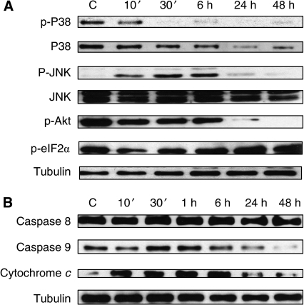 Signalling mechanisms activated by JWH-015 in prostate PC-3 cells. Cells were incubated with 10 μ JWH-015 for different times. (A) Phosphorylation levels of p38, JNK, Akt and eIF2α were measured by western blot. (B) Levels of pro-caspase 8, pro-caspase 9 and cytochrome c in the cell cytosol were detected by western blot. Figure shows a representative image of the other three experiments. Tubulin levels are shown as loading control.