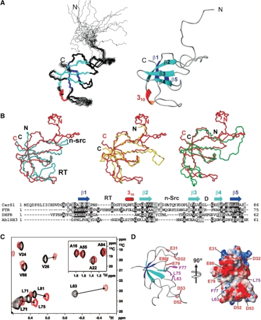 CarS1 structure and interactions with CarANt from NMR. (A) Superposition of the backbone traces for the 20 final NMR structures (left) and ribbon diagram of the average structure. (B) Cα-based overlay of the Abl tyrosine kinase SH3 domain (blue; PDB ID: 1JU5), R67-plasmid DHFR (yellow; PDB ID: 1VIE), or chloroplast FTR subunit B (green; PDB ID: 1DJ7) onto CarS1 (red). The respective DALI Z-score/rmsd (Å)/sequence identity (%)/number of superimposed residues are: Abl SH3 domain: 3.4/2.6/6/50; DHFR: 5/1.6/20/49; FTR B: 5.2/2.7/21/57. Below is a structure-based sequence alignment showing secondary structural elements and the RT, n-Src and distal (D) loops as denoted in SH3 domains. Residues are shaded black if identical in at least two sequences and gray if similar. (C) Portion of the 1H-13C HSQC spectrum of 13C, 15N-labeled H6CarS1 (0.24 mM) showing methyl crosspeaks perturbed by a 1.5-fold excess of unlabeled CarANt (red) compared to no CarANt added (black). Inset shows negligible perturbation of labeled Ala methyl crosspeaks for comparison. (D) Ribbon and electrostatic surface models of CarS1 showing residues that interact with CarANt from NMR data. Interacting side chains are depicted as magenta sticks with neighbouring acidic residues in red in the ribbon model.