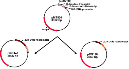 Construction of transcription plasmids, pRG147and pRG198. The plasmids were constructed by cloning PCR-amplified E. chaffeensis-specific promoters of p28-Omp14 (pRG147) and p28-Omp19 (pRG198) into the EcoRV located upstream of a G-less cassette in pMT504 [26].