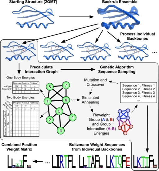 Scheme for predicting the tolerated sequences for a protein fold or interaction.The input is at least one protein structure from the protein structure databank (2QMT in the example). Rosetta first creates an ensemble of backbone conformations using the backrub method [31], then predicts sequences consistent with each conformation in the ensemble, scoring each trial sequence–structure combination using the Rosetta score12, and finally combines the sequences into a predicted sequence profile. This approach ignores potential covariation between side chains. To speed up calculations, the scoring function is split into one-body terms describing the intrinsic energy of a particular residue conformation, and two-body terms between residues; these residue-residue interaction terms are assumed to be pairwise additive. One- and two-body terms are pre-calculated and stored in an interaction graph [42] such that optimization of sequence–structure combinations for entire proteins only takes seconds using look-up tables of interaction energies. For the interaction graph, vectors of residue self-energies (one body) are stored on the vertices (green circles) and matrices of residue interaction energies (two body) are stored on the edges (thick black lines). Computed interaction energies within proteins, between proteins, or between groups of residues can be reweighted to generate custom fitness functions for specific applications. This flexibility in scoring residue groups allows modeling of separate requirements, such as those to maintain residues required in an interaction interface with a binding partner. Group and group interaction reweighting is typically only done for protein-protein interactions. (For the monomeric GB1 domain shown here, no reweighting was applied.)