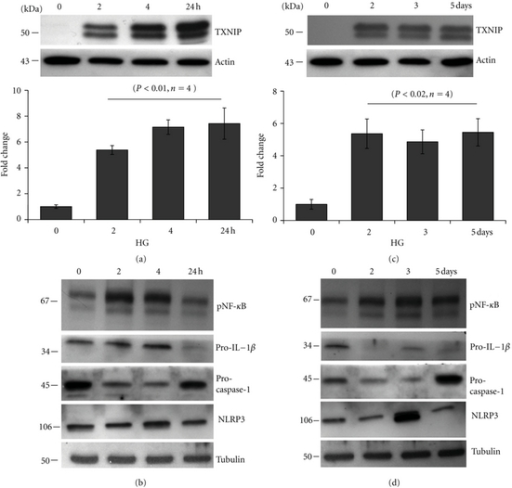 Chronic hyperglycemia persistently upregulates TXNIP expression in rMC1 and induces IL-1β and NLRP3 inflammasome activation. rMC1 cells were cultured under HG for (a and b) 0–24 h or (c and d) 0–5 days and TXNIP proteins were detected by Western blotting. For this, cell extracts were prepared in RIPA buffer and 30 μg protein was analyzed on 12% SDS-PAGE and Western blot for cytosolic TXNIP, Pro-IL-1β, NLRP3, and pro-caspase-1 and the nuclear level of phosphorylated p65 at serine residue 276 (S276) of NF-κB. ECL detected the immunoreactive bands. Actin and tubulin were used as controls for protein loading. A representative blot for each protein is shown here from n = 3-4.
