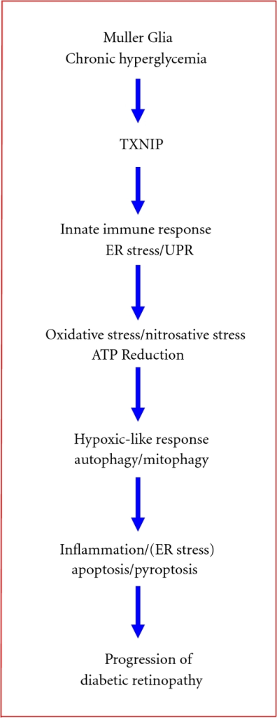 A schematic summary of potential cellular responses by retinal Muller glia in chronic hyperglycemia and diabetes. The sequence of molecular events that retinal Muller cells react to chronic hyperglycemia include (i) sustained upregulation of TXNIP, (ii) an initial innate immune and UPR response to excess glucose metabolism and oxidative phosphorylation (ATP generation), (iii) oxidative stress (ROS/RNS generation) and a hypoxia-like response through ATP reduction, (iv) an induction of an autophagic-mitophagic pathway, and (v) ER-stress and inflammation. These cellular responses constitute intrinsic cell survival/defense mechanisms, which, under chronic cell stress and injury, may promote premature cell death and disease progression of DR.