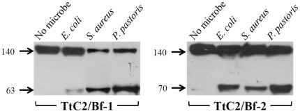 Microbe-induced activation of TtC2/Bf-1 and TtC2/Bf-2.Microbes were incubated with HDP at 37°C for 30 min. The microbes were removed by centrifugation, and 20 µl of the supernatants were subjected to Western blotting as described in Figure 2A. Lane 1, HDP; lane 2, HDP+E. coli; lane 3, HDP+S. aureus; lane 4, HDP+P. pastoris. Each experiment was performed at least three times. Representative blots are shown.