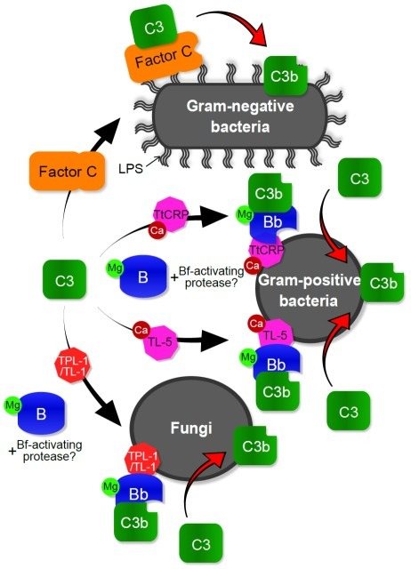 Proposed mechanism for deposition of TtC3b on the surfaces of microbes.On the surface of Gram-negative bacteria, the LPS-sensitive protease factor C is activated through the interaction with LPS. Activated factor C then acts as a C3 convertase, and the resulting TtC3b is deposited. On the Gram-positive bacteria, Ca2+-dependent lectins such as TtCRP-1 (Tachypleus tridentatus C-reactive protein-1) and TL-5A (Tachylectin-5A) recruit the complex (C3-B), TtC3-TtC2/Bf-1, or TtC3-TtC2/Bf-2. The second C3 convertase (C3b-Bb), TtC3b-TtC2/Bf-1b or TtC3b-TtC2/Bf-2b complex, may be formed by an unidentified protease on the surfaces of Gram-positive bacteria and fungi. TL-1 (Tachylectin-1) and possibly TPL-1 (Tachypleus plasma lectin-1) also promote TtC3b deposition on the three types of microbes, especially on fungi.