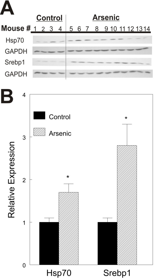 HSP70 and SREBP1 expression in livers of 10 week old mice.A. Western blot analysis of HSP70 and SREBP1. The SREBP1 fragment shown is the 68 kDa cleavage fragment. B. Densitometric quantitation of western blots. Signals for each protein were normalized to GAPDH and mean of controls (#'s 1–4) was set = 1. Representative of triplicate blots shown. * = p<0.05.